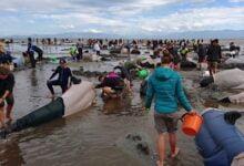 Photo of Të paktën 90 balena ngordhin në brigjet e Australisë
