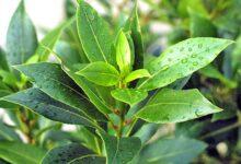 Photo of Kura tradicionale me gjethe dafine për shëndetin e pankreasit
