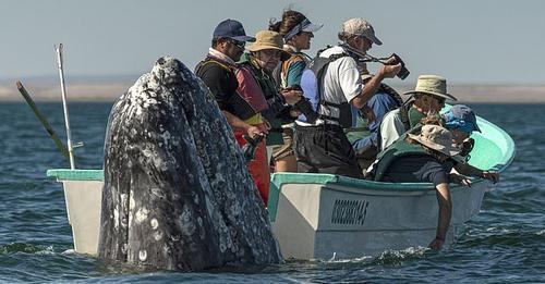momentet-kur-balena-del-prapa-barkes-se-turisteve-qe-e-kerkojne-ne-anen-e-gabuar